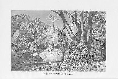 Feigen Feigenbaum Ficus Würgefeigen Luftwurzeln DRUCK von 1898 Botanik