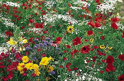 Wildflower Mix: Butterfly wildflower mixture Fresh Seed ...