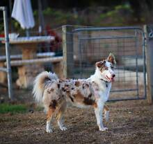 Border Collie red merle girl! Townsville Woodstock Townsville Surrounds Preview