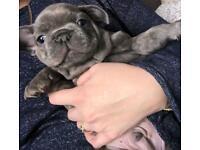 2x pure blue french bulldog puppies