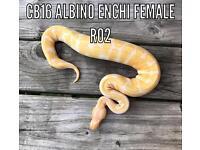 Albino & Axanthic Royal pythons