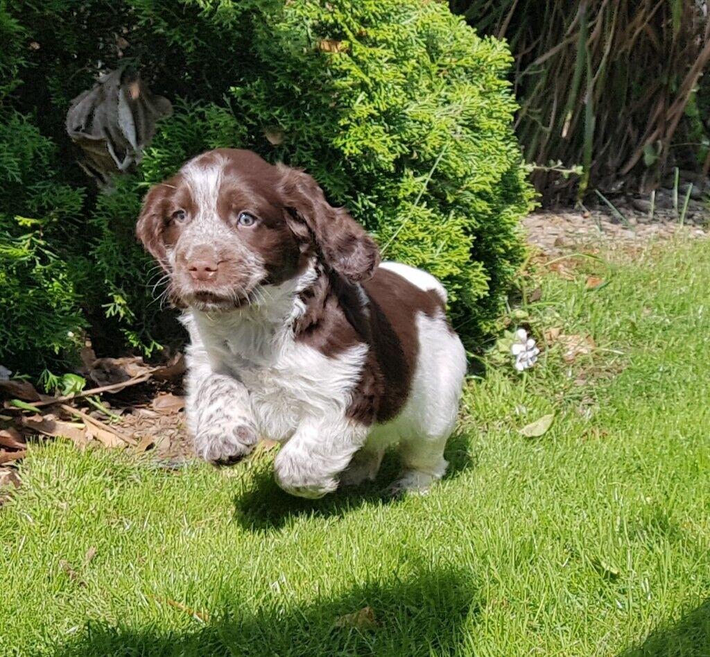 Beautiful Sprocker Spaniel Pups In