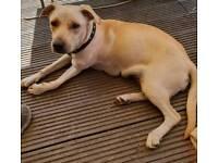 Lovely Labrador cross staffie