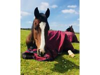 10 y/o Thoroughbred Gelding *FOR SALE* *PROJECT*