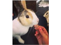 MISSING RABBIT!!! light brown and white