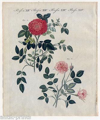 Rosen-Rose-Blume-Botanik - Bertuch Kupferstich 1800 Provencer-Dijon-Röschen