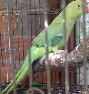 Green Indian Ringneck parrot for sale Willowbank Ipswich City Preview