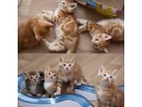 Beautiful kittens for sale 8 weeks tabby gingers torties
