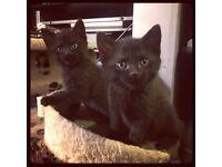 Pure Black Ragdoll x Russian Kittens