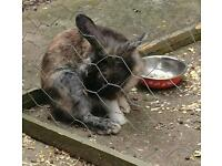 Male lion head rabbit ** free to good home