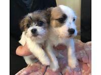 Jack Russell X Shitzu puppies 14 weeks