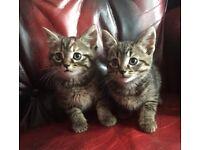 Lovely Kittens For Sale Tabby, Tortoise, Black and White