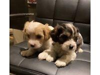 Outstanding Cavachon puppies
