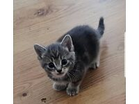 Beautiful Grey Kittens looking for their forever home.