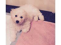 Bichon frise 10 week old puppy Full pedigree