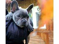 Stunning Blue French Bulldog Puppie for sale