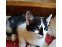 Beautiful Black & White Fluffy Kittens For Sale
