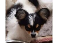 Long coat Chihuahua ~~~~ Full pedigree with very nice marking boy puppy