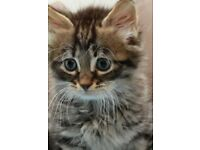 Pedigree Norwegian Siberian kittens last two