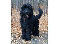 Newfoundland x poodle large breed