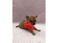 TINY CHIHUAHUA GIRL FOR RESERVATION