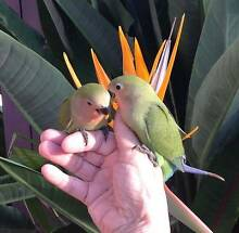 *ADORABLE* *SUPER TAME* *HANDRAISED* BABY PEACH-FACED LOVE BIRDS* Tanah Merah Logan Area Preview