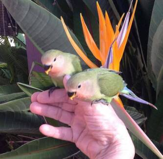 💖ADORABLE, SUPER TAME, HANDRAISED, BABY PEACH-FACED LOVEBIRDS💖