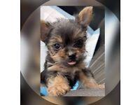 Tiny Yorkshire Terrier