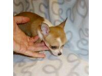 Stunning tiny baby girl chihuahua
