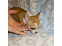 Beautiful tiny teacup girl chihuahua