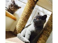 British shorthair 1 boy left