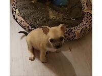 Beautiful Chihuahua cross French bulldog puppies