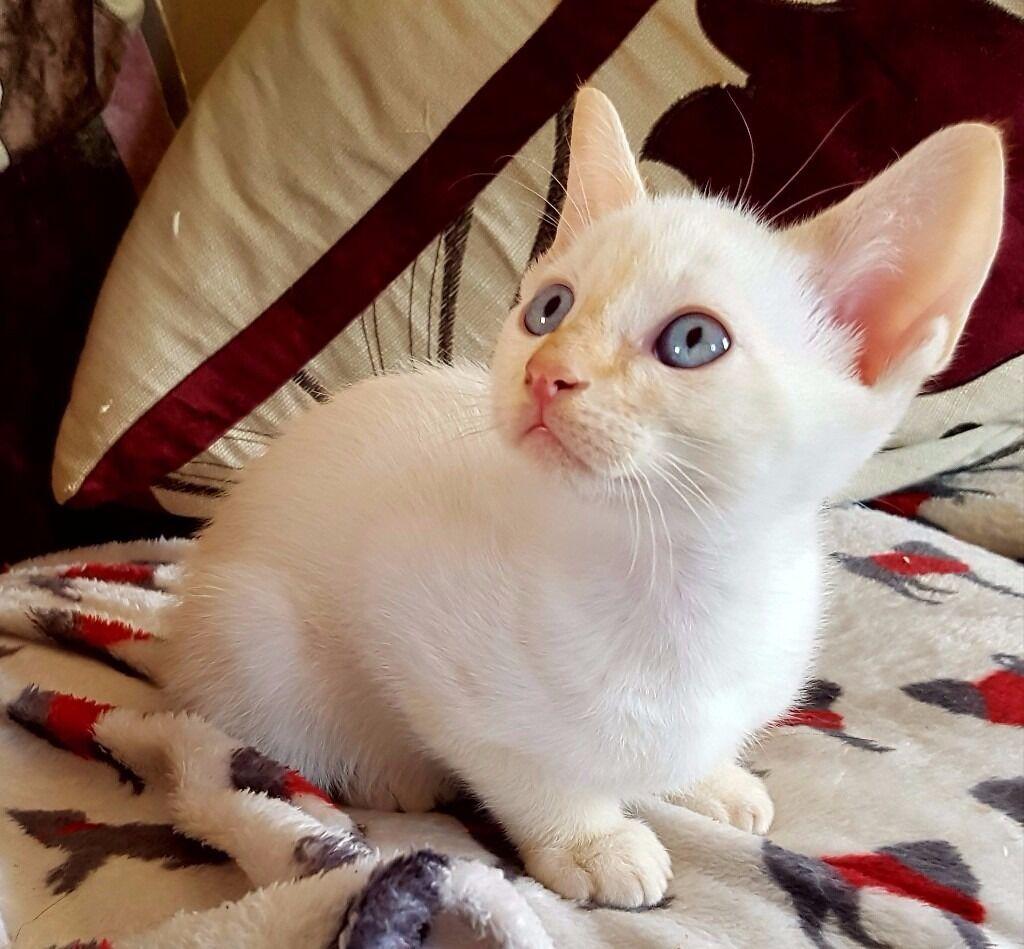 Siamese X Devon Rex kittens for sale in Uppingham Rutland