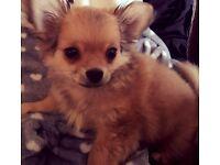 chihuahua boy hugo is 16 weeks old