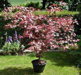 Beautifully shaped Acer Atropurpureum (Japanese Maple) Shrub In Pot For Sale