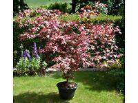Beautifully shaped Acer Palmatum (Japanese Maple) Shrub In Pot For Sale