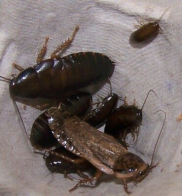 100 mixed Lobster Cockroach,Pet Reptile Food,Live Feeder insect,dubia substitute