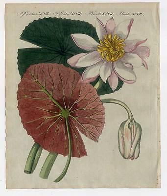 Seerose-Lotus-Lotos-Pflanzen-Blumen - Bertuch-Kupferstich 1800 Lotusblume