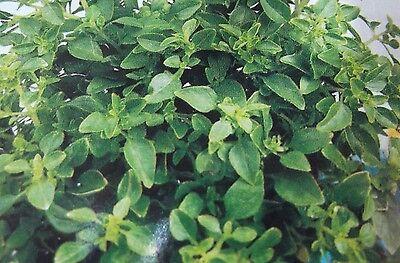 Basilikum Genovese, Saatgut,  Samen,Gemüse, Sämereien,Kräuter.P.64  (Genovese Basilikum Samen)