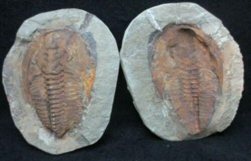 5.25 inch Trilobite Fossil Andalusiana Positive & Negative Pair Morocco Cambrian