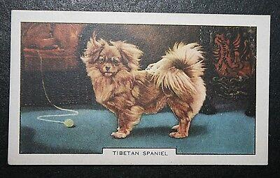 Tibetan Spaniel   Original 1930's Vintage Coloured Card  VGC