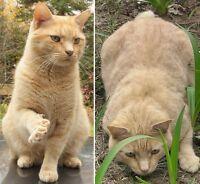LOST orange cat Woodlawn/Buckhams Bay West