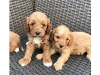 Beautiful f1 cavapoo puppies available