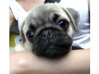 Pug puppy female