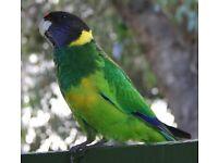 port lincoln parakeet male