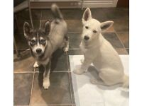 Goberian(Golden Retriever/Husky) husky puppies for sale