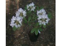 "RHODODENDRON ""BASHFULL"" EVERGREEN POTTED FLOWERING GARDEN/PATIO SHRUB"
