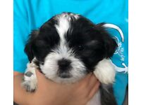 Malshi puppies-2 girls left only