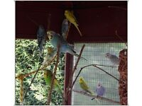 8 young budgies for sale. male and female. Lovely colours