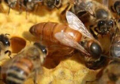 2020 Live Mated Honeybee Queen Italian